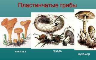 Пластинчатые, съедобные и несъедобные грибы – фото, описание, видео
