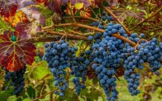 Каберне Совиньон – описание сорта винограда, разнобразие видов
