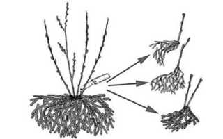 Как размножить ежевику: метод верхушечных отводок, другие способы