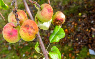 Почему опадают яблоки с яблони раньше поспевания