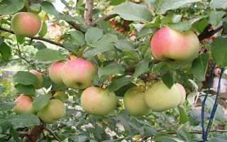 Яблоня «Совхозное»: описание и особенности сорта + фото