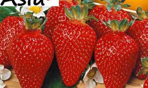 Клубника Азия : все секреты выращивания, отзывы