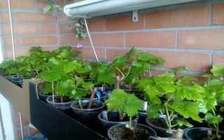 Виноград на балконе: особенности выращивания