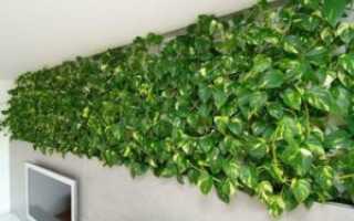 Комнатные лианы – выращивание, уход + 10 фото