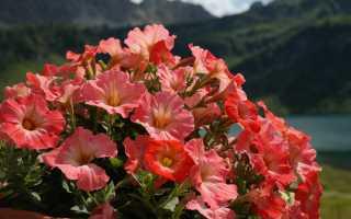 Почему не цветет петуния? Основные проблемы, способы их решения