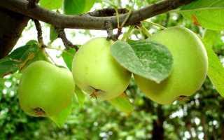 Воздушные отводки: как размножить яблоню воздушными отводками
