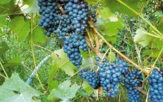 Виноград Амурский: описание сорта, выращивание