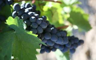 Виноград Кубань: описание, выращивание, отзывы