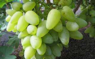 Виноград Бажена: преимущества сорта, выращивание, посадка и уход