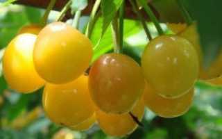 Черешня Дрогана Желтая: выращивание сорта, описание, опылители