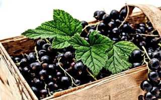 Сорта смородины чёрной – 15 самых популярных разновидностей