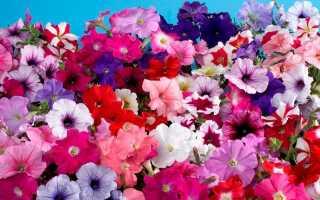 Выращивание петунии: как вырастить цветок правильно?