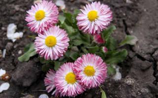 Маргаритка: необычная сила красивого цветка + фото