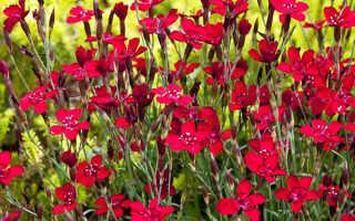 Гвоздика – травянка многолетняя: выращивание и фото, посев и уход