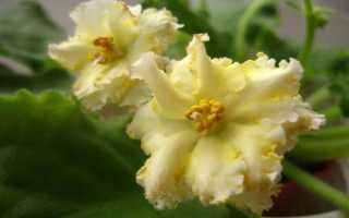 Желтая фиалка: описание, выращивание, сорта с названиями, фото