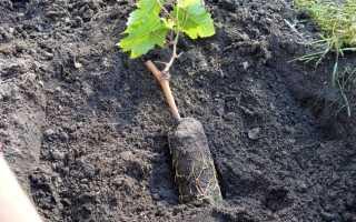 Посадка чубуков винограда весной в бутылки