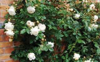 Описание английской кустовой розы Клэр Остин: какие сорта, особенности цветения