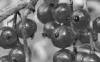 Красная смородина Длиннокистная: описание и особенности + фото