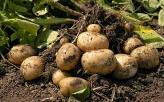 Картофель: посадка, правила выращивания и особенности ухода