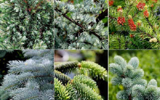 Хвойные растения – все виды для сада с фото и названиями