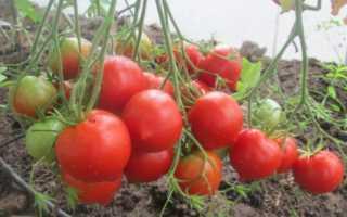 Томат юбилейный Тарасенко: описание и советы по выращиванию