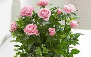 Уход за комнатной розой в дома. Советы и рекомендации