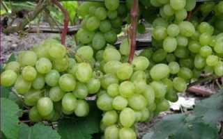 Виноград Восторг: описание и характеристики сорта