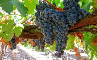 Выращивание винограда на даче в средней полосе: 7 главных правил