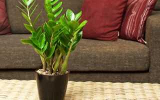 Уход за замиокулькасом в домашних условиях: какой грунт, чем поливать, какое освещение, удобрения