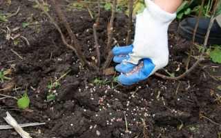 Подкормка смородины: виды удобрений, сроки, способы внесения