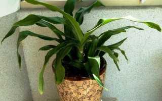 Родея: описание, выращивание и уход в домашних условиях + фото
