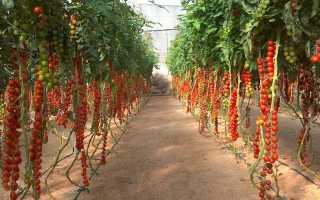 Подкормка помидоров – как проводится в теплице?