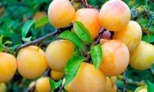 Слива Светлячок: описание, выращивание, опылители + фото