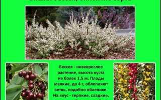 """Вишня песчаная """"Бессея"""" – описание сорта и разновиности растения"""