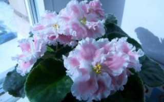 Фиалка Розовая акварель: описание, выращивание и уход + фото