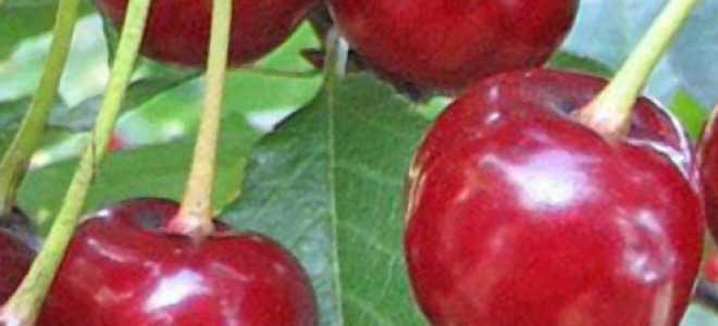 Вишня Заранка: описание сорта, фото, выращивание