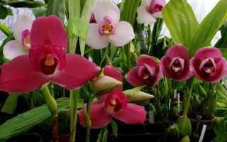 Ликаста: описание, выращивание в домашних условиях + фото