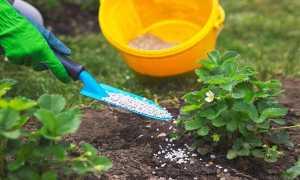 Подкормка клубники весной – народными средствами, уход