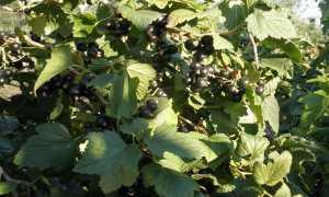 Чёрная смородина Памяти Шукшина: посадка и уход за растением