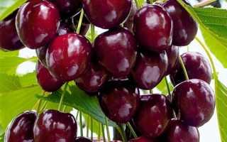 Черешня Радица: описание, выращивание и уход + фото, отзывы