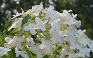 Гортензия метельчатая Юник: описание сорта, выращивание + фото