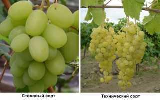 Сорта белого винограда: разновидности, описание, фото