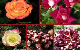 Виды роз с фото и описанием: популярные разновидности