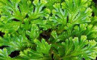 Селагинелла: описание растения, разновидности, выращивание, уход