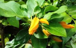 Хуануллоа: описание, выращивание и уход + фото
