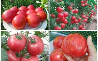 Розовые помидоры: описание, сортовые разновидности, уход