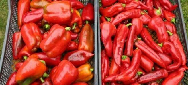 Перец Какаду: описание сорта, советы по высадке и уходу