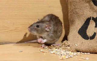 Средства против мышей в деревне; как их травить, как промыть, видео