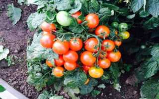 Непас – сорт томатов. Описание и характеристика разновидности