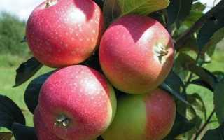 Яблоня Елена: характеристика, описание, уход за сортом